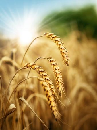 grain fields: Sun behind a wheat field. Stock Photo