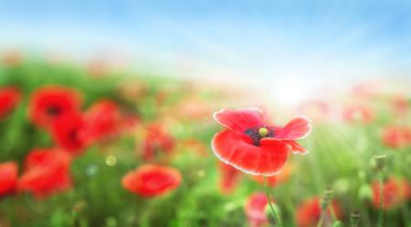 Poppy flower on green field under blue sky. Stock Photo