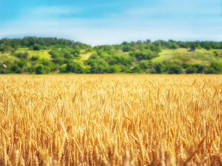 Wheat field in sunny day