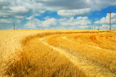 Golden wheat. The harvest is ripe. Stock Photo