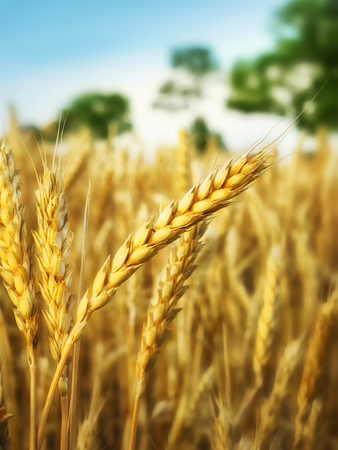 Wheat spikelet at the farm, shallow depth of field.
