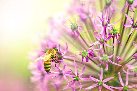 Honey bee on purple flower collect pollen. Stock Photo