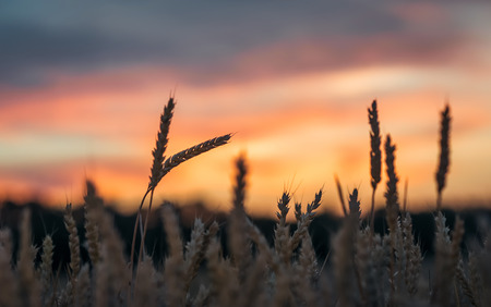 Sunset behind a wheat field. Фото со стока