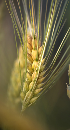 Wheat ear at the farm, shallow depth of field. Фото со стока