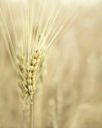 Wheat ear at the farm, shallow depth of field Фото со стока