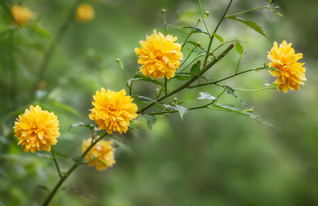 Yellow flowers - japanese rose - Kerria japonica