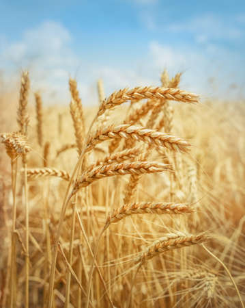 Field of gold wheat ready for harvesting Stockfoto