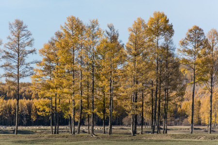 Larch in autumn Stockfoto
