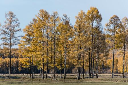 mélèze en automne