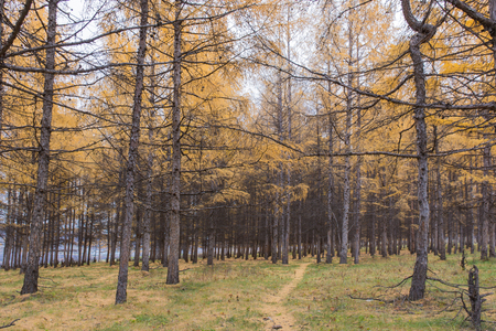Larch in autumn Stock Photo