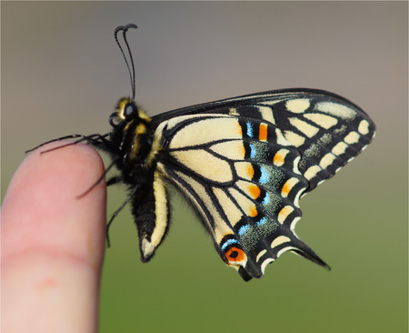 fingertips: Life at your Fingertips, Anise Swallowtail Butterfly Stock Photo