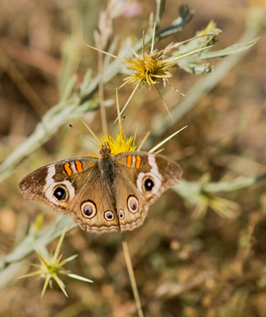 buckeye: Common Buckeye Junonia coenia butterfly feeds from a yellow flower Stock Photo