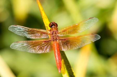 libellula: Flame Skimmer Libellula saturate dragonfly