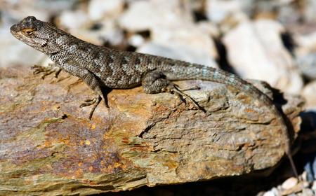 lizard in field: Valla Noroeste Lagarto Sceloporus occidentalis en una roca de colores Foto de archivo