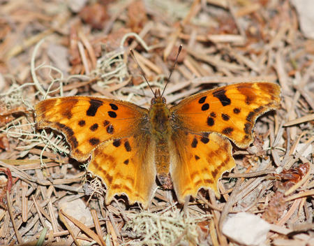 comma: Satyr Comma Polygonia satyrus butterfly