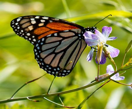 plexippus: Monarch butterfly Danaus plexippus on a purple-white flower