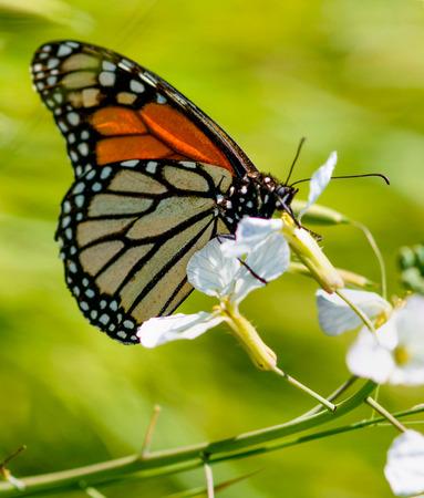 danaus: Monarch butterfly Danaus plexippus on a purple-white flower