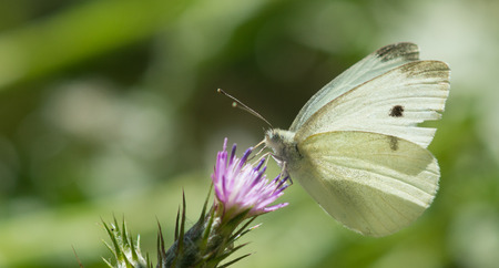pieris: Cabbage White butterfly Pieris rapae