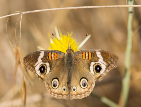 buckeye: Common Buckeye Junonia coenia butterfly feeds from a yellow flower Stock Photo