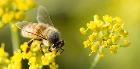 bee on flower: Bee on Anise Flower