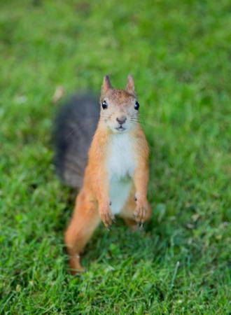vulgaris: Red Squirrel Sciurus vulgaris