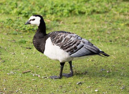 goose: Barnacle Goose Branta leucopsis walking in the meadows Stock Photo