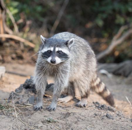 Raccoon, Procyon lotor harvest Stock Photo