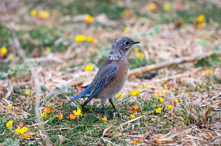 bluebird: Western Bluebird Sialia mexicana, Adult, Female Stock Photo