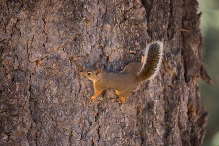 douglas: Douglas Squirrel or Chickaree