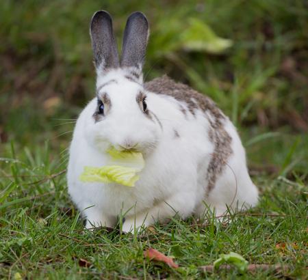 european rabbit: European Domestic Rabbit Oryctolagus cuniculus Stock Photo