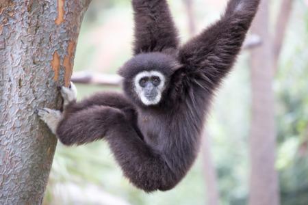 handed gibbon: White Handed Gibbon Hylobates lar
