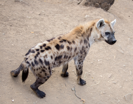 spotted: Spotted Hyena Crocuta crocuta