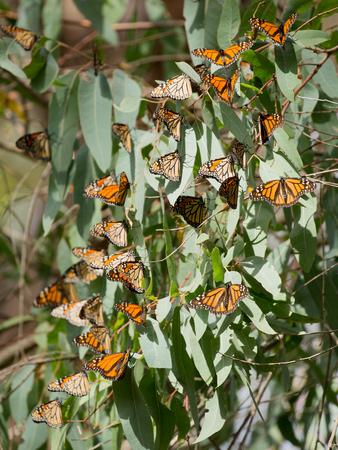 danaus: Monarch Butterflies Danaus plexippus