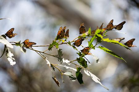 Monarch Butterflies Danaus plexippus