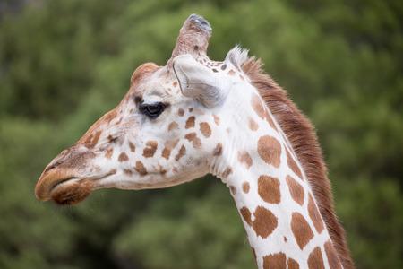 camelopardalis reticulata: Reticulated Giraffe Giraffa camelopardalis reticulata