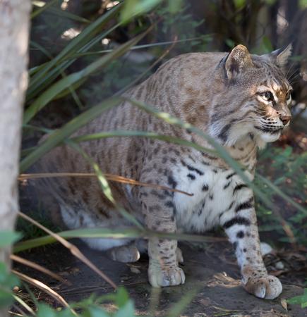 lince rojo: rufus Bobcat Lynx