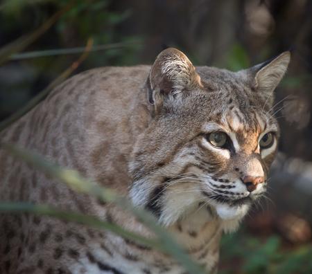 bobcat: rufus Bobcat Lynx