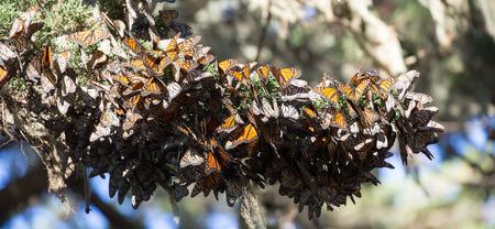 danaus: Cluster of Monarch Butterflies Danaus plexippus. Monarch Grove Sanctuary, Pacific Grove, California. Stock Photo