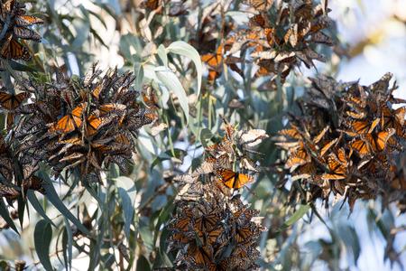 plexippus: Cluster of Monarch Butterflies Danaus plexippus. Monarch Grove Sanctuary, Pacific Grove, California. Stock Photo