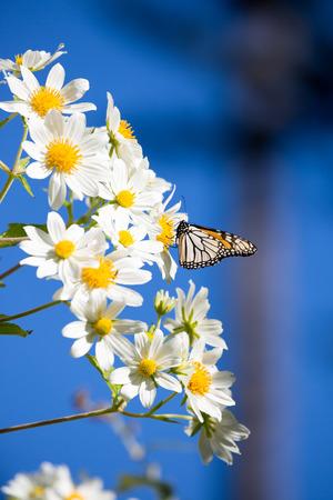 nectar: Monarch butterfly drinks daisy flower nectar