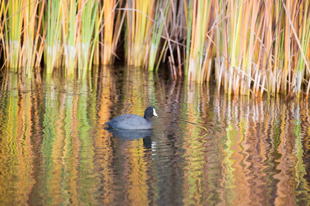 foothill: American Coot, Boronda Lake, Foothill Park, Palo Alto, California.