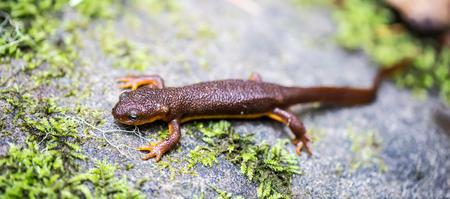 newt: California Newt, Taricha torosa, on Mossy Rock