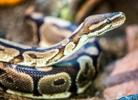 ball python: Ball Python, Python regius
