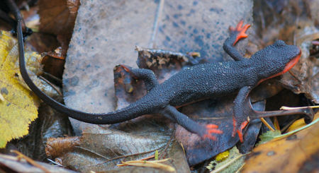 newt: Red-bellied Newt, Taricha rivularis