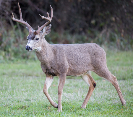 black tail deer: Black-tailed Deer, Odocoileus hemionus, Male