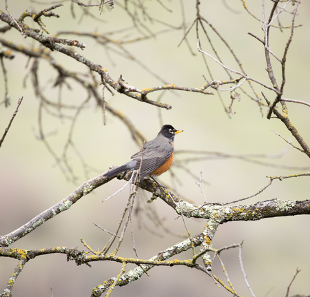 turdus: American Robin, Turdus migratorius, perched on a tree