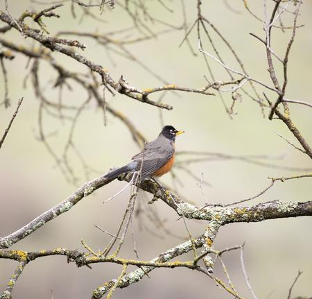 turdus: American Robin, Turdus migratorius, perched on a tree