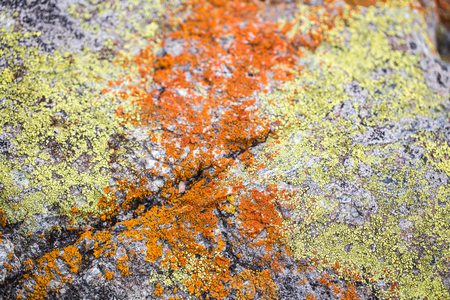 mutualism: A Mix of Yellow and Orange Lichens on Rock