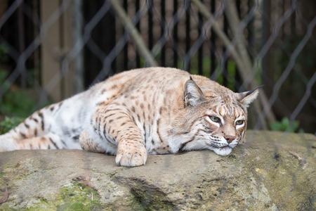 lince rojo: Bobcat - Lynx rufus de descanso