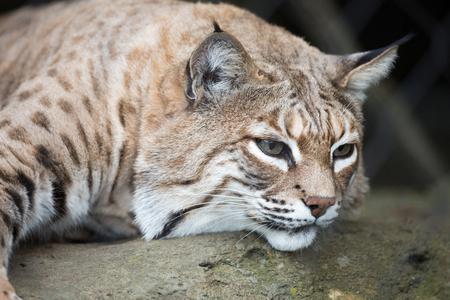 lince rojo: Bobcat - Lynx rufus primer plano